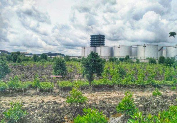 pohon Mangrove Asri di Dermaga Lanal Dumai ,Kelurahan Bangsal Aceh ,Kecamatan Sungai Sembilan